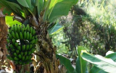 La ruta del plátano: Así se extrae el banano del campo ecuatoriano